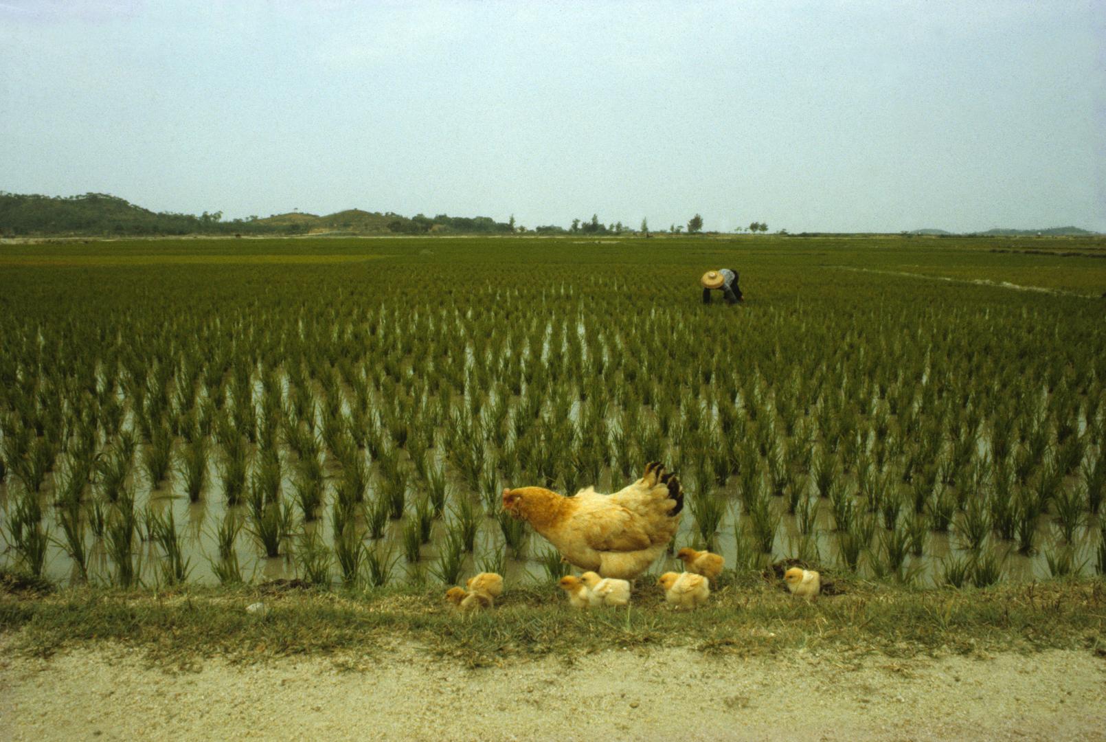 Chicken Field 1986 (22 x 14.75)